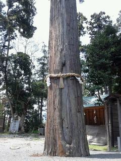 川勾神社のご神木?